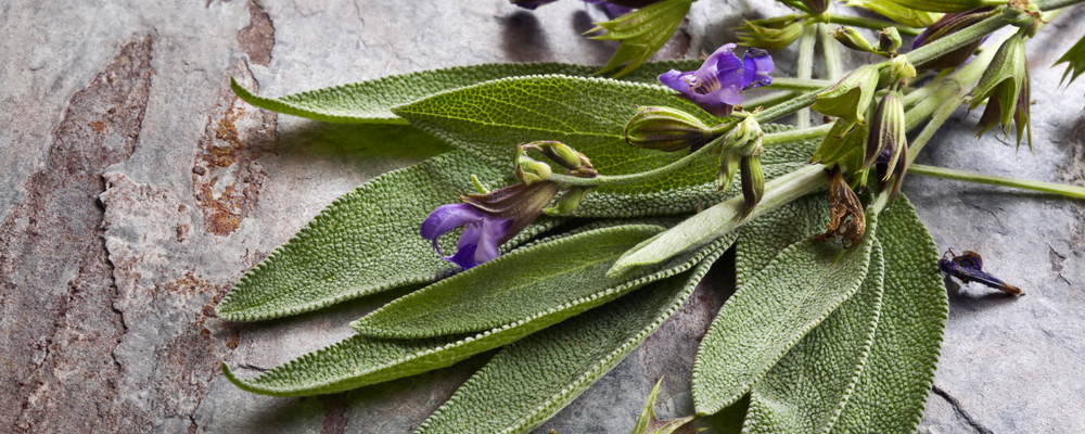 Flowering sage, against slate background.